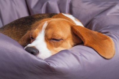 Beagle in purple pillow